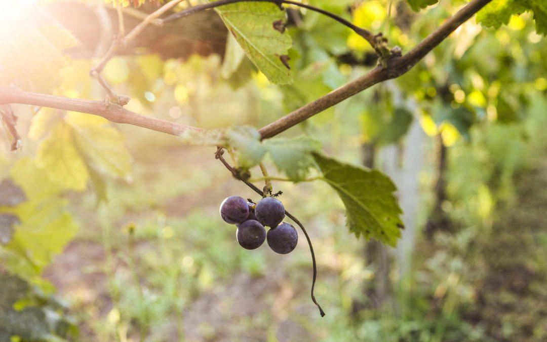 Wine tour e degustazioni – La vendemmia nel Chianti